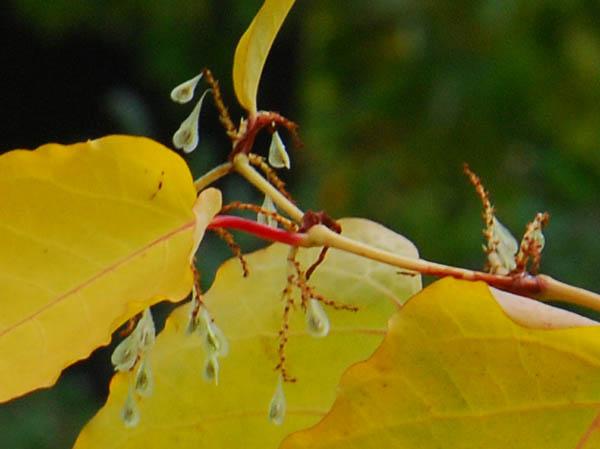 Fallopia mit dreiteiligen geflügelten Früchten