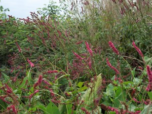 janet-und-sanguisorba-blackthorn