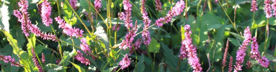 September Spires und Rowden Gem – die violette Fraktion